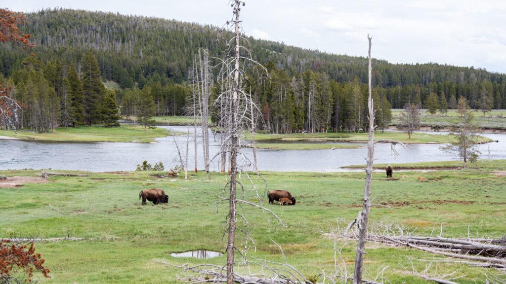Die ersten Bisons und ein Baby, Yellowstone