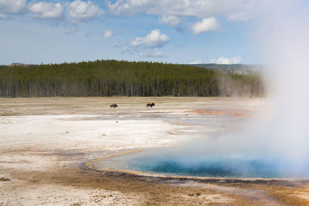 Bisons ziehen durch das Lower Geyser Basin