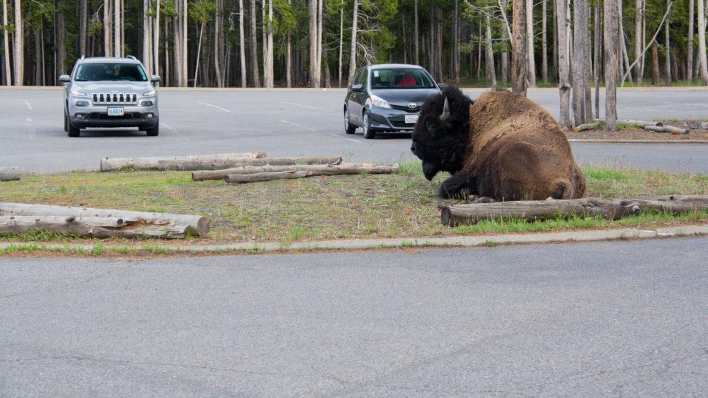 Ein Bison sitzt mitten auf der Parkinsel