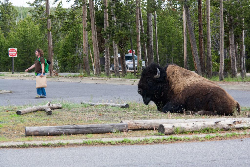 So ein Bison kann man schon mal übersehen auf dem Weg zum Auto