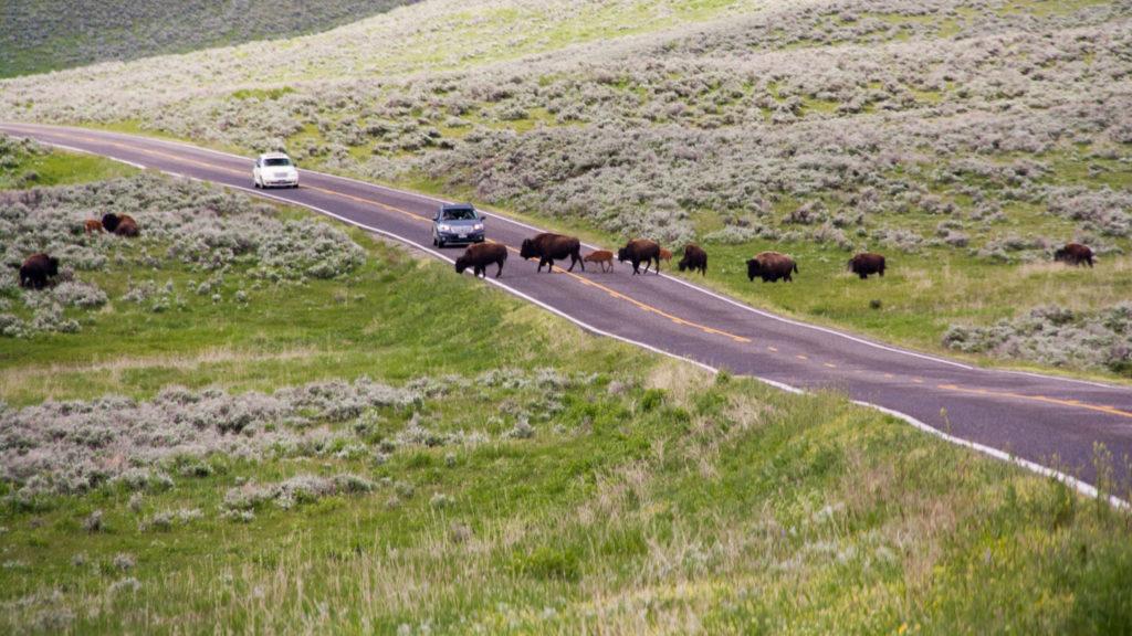 Bisons ziehen quer über die Strasse