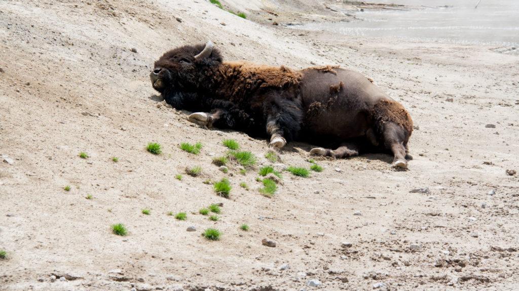 Entspannter Bison