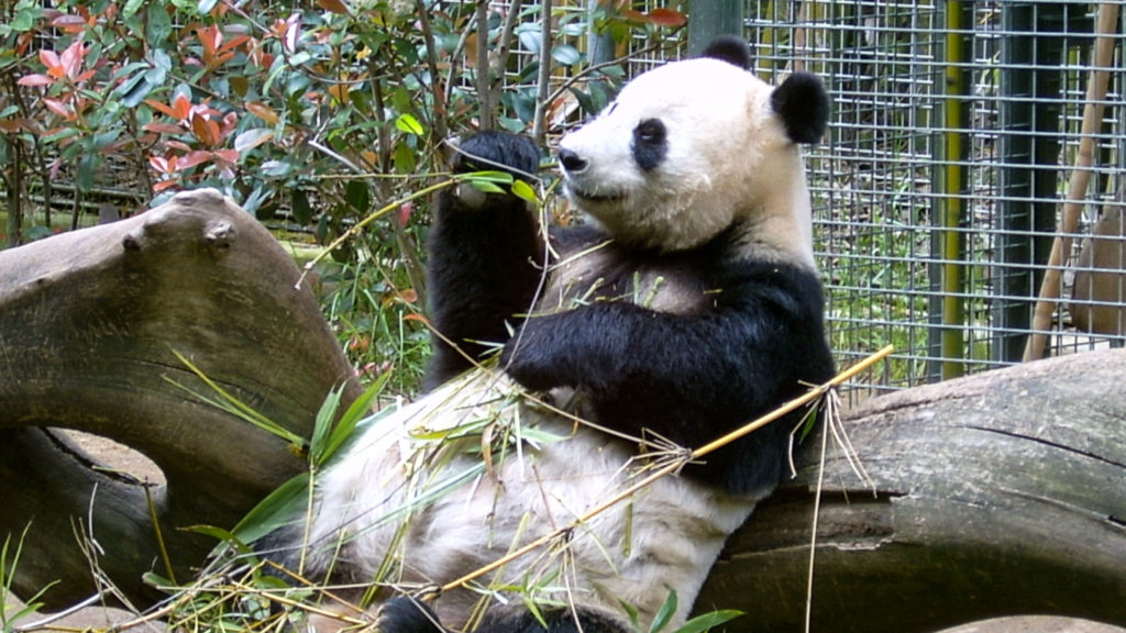 Panda im San Diego Zoo
