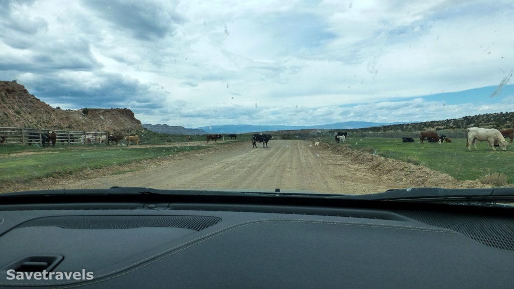 Kühe im Open Range