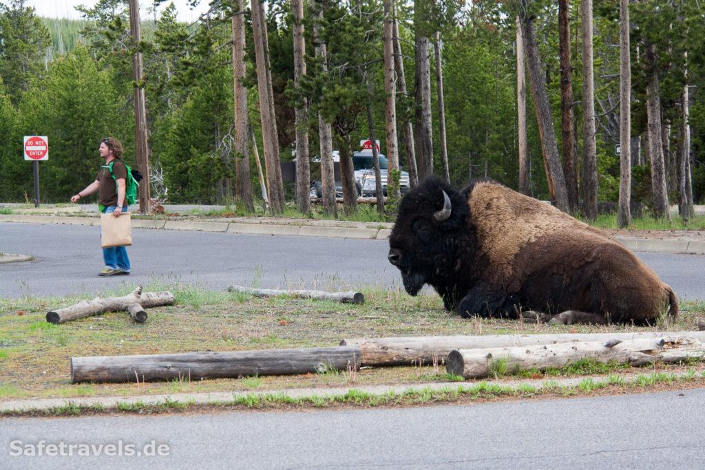 Niedlicher kleiner Büffel auf der Verkehrsinsel im Yellowstone NP