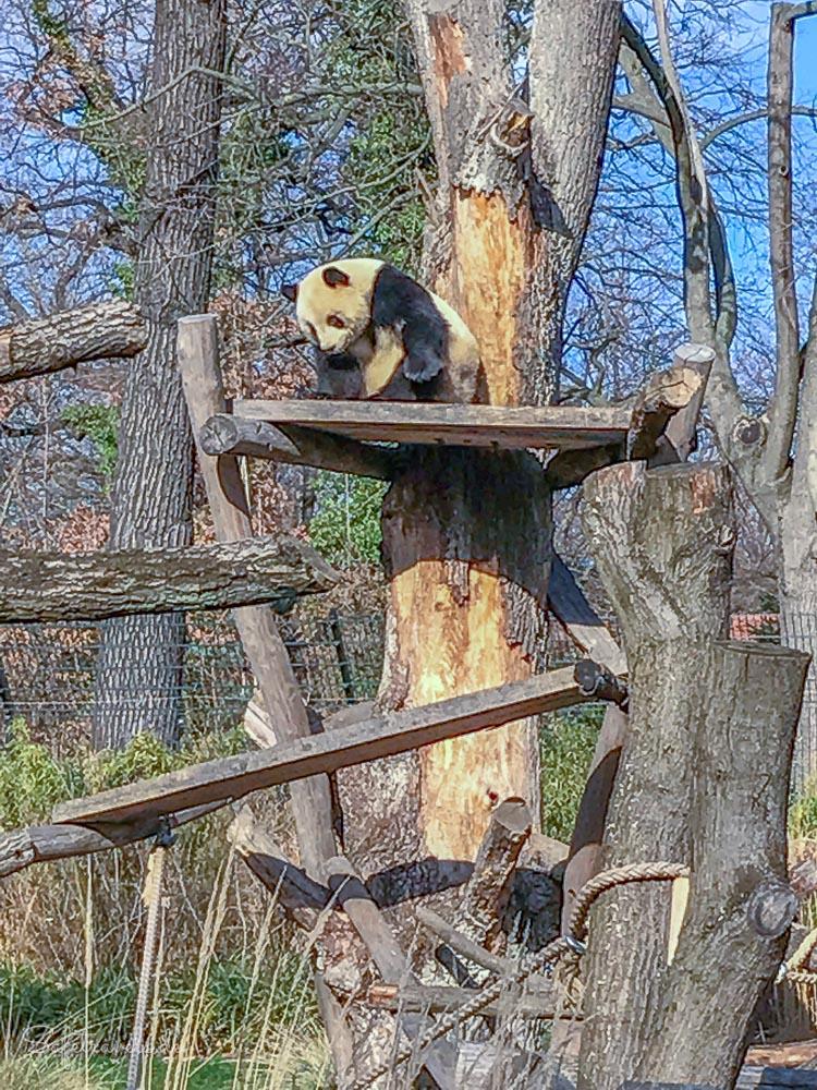 Panda im Berliner Zoo