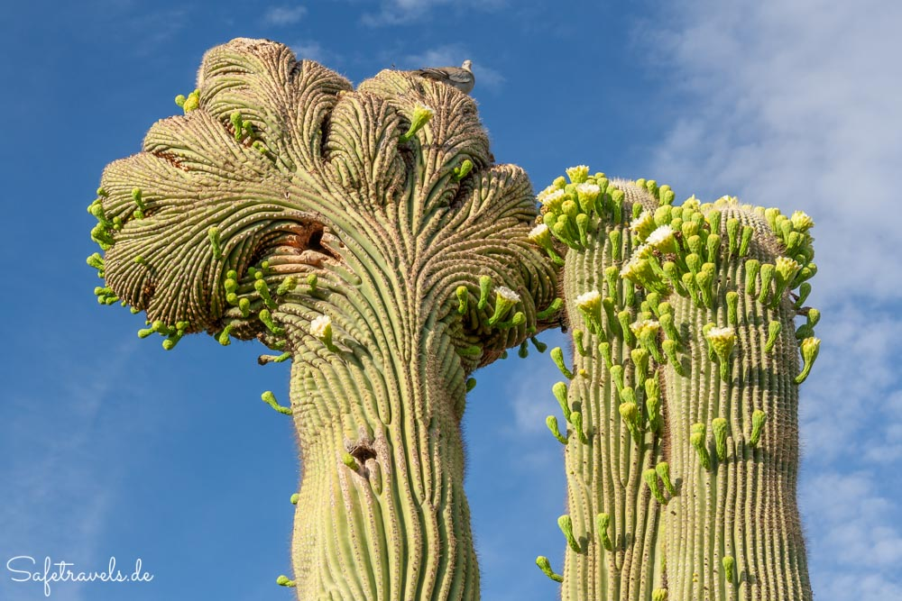Desert Botanical Garden - Crested Saguaro