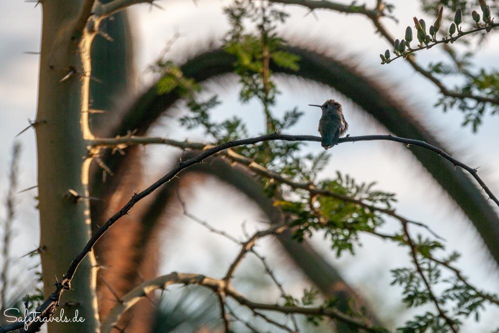 Desert Botanical Garden - Kolibri