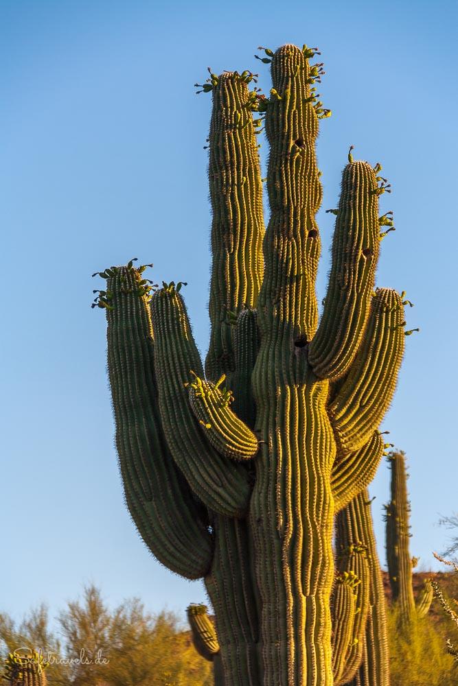 Desert Botanical Garden - goldener Saguaro
