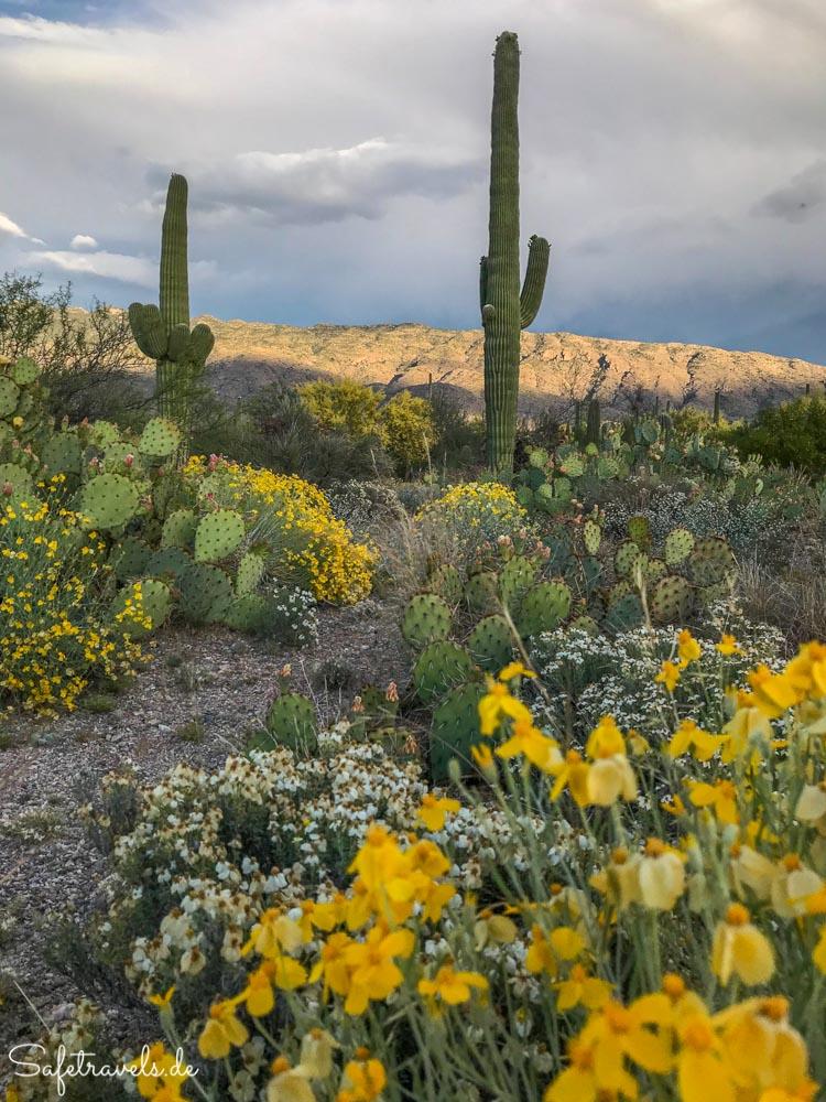 Saguaro National Park - Vor dem Gewitter