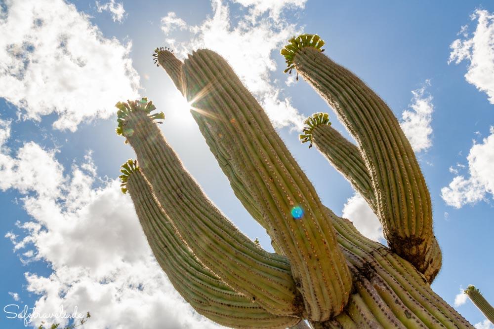 Saguaro National Park - der Saguaro wächst bis in den Himmel