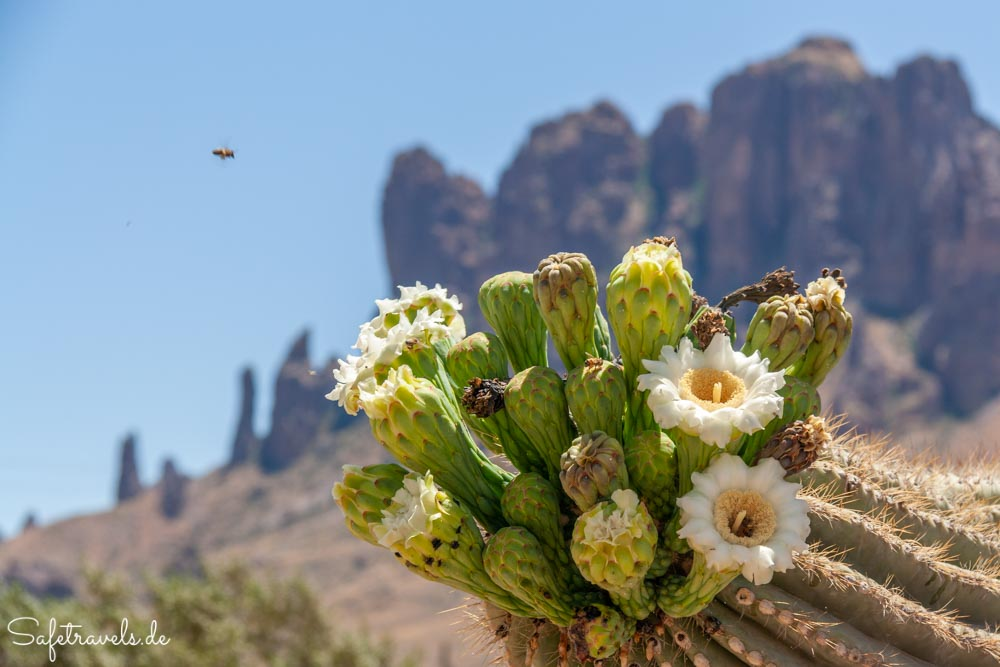 Saguaroblüte vor den Superstition Mountains