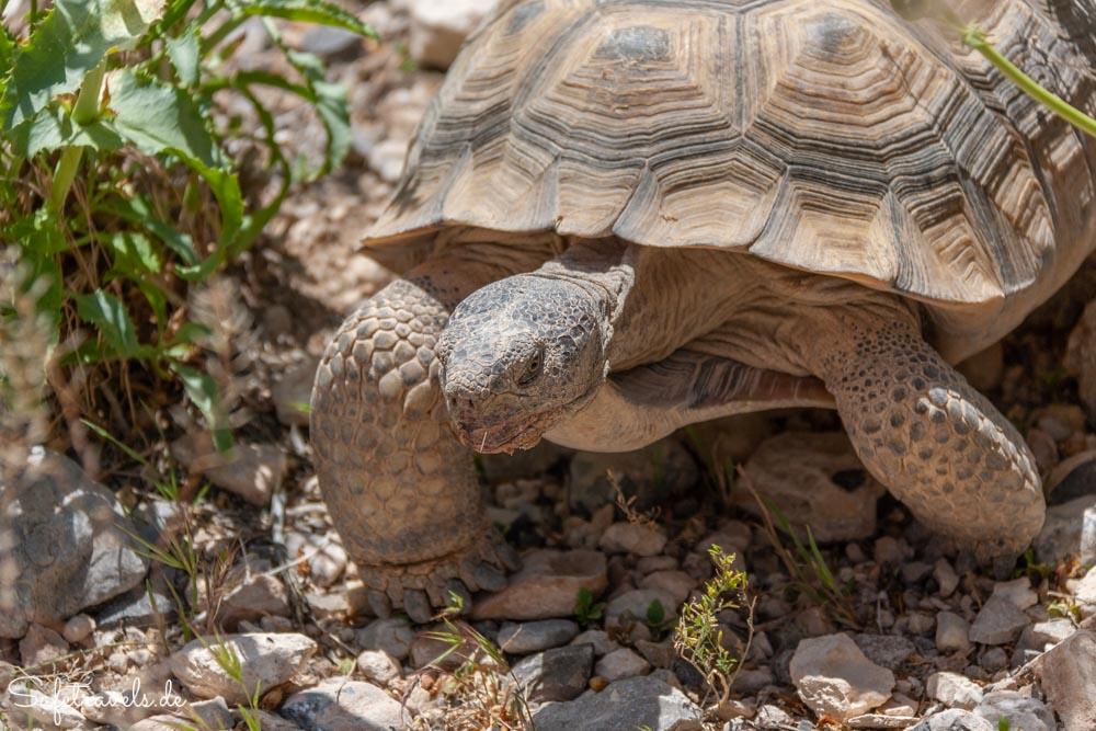 Red Rock Canyon - Wüstenschildkröte ganz nah