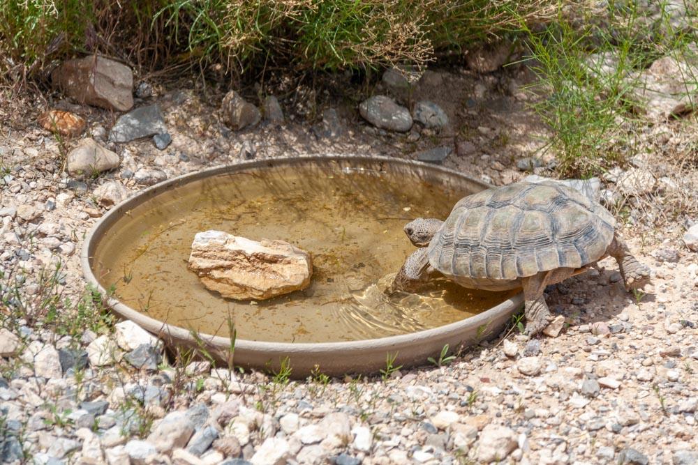 Wüstenschildkröte im Red Rock Canyon