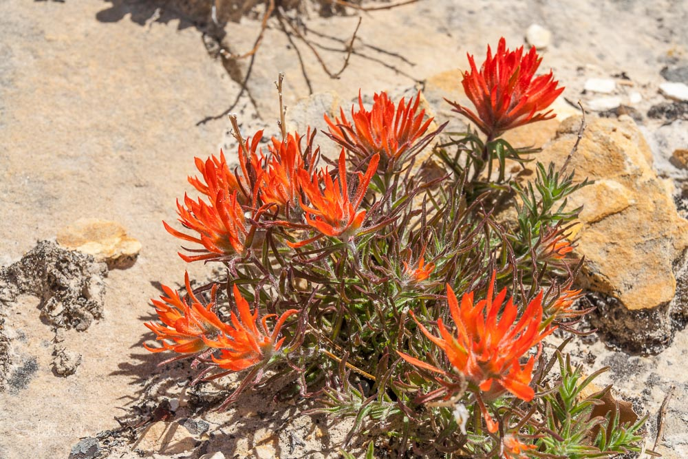 Indian Paintbrush - Zion National Park