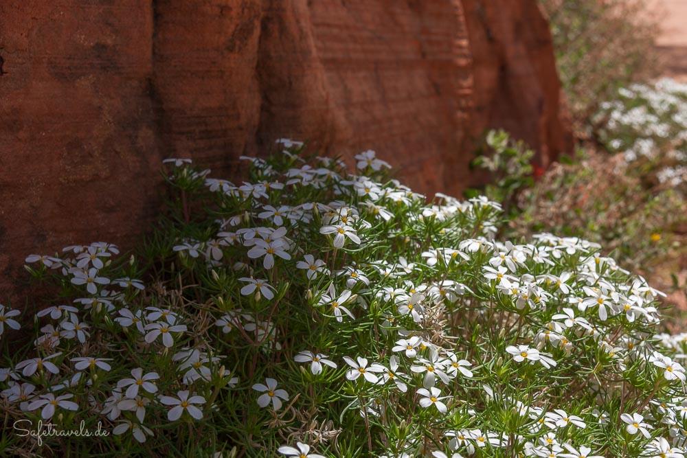 Teppiche mit weiß blühenden Phlox - Zion National Park