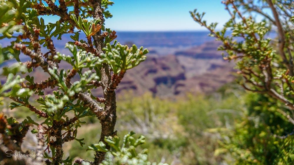 Widforss Point - Ponderosa Pines und Aussicht