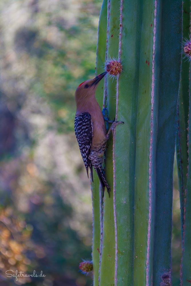 Gila Woodpecker an einem Saguaro