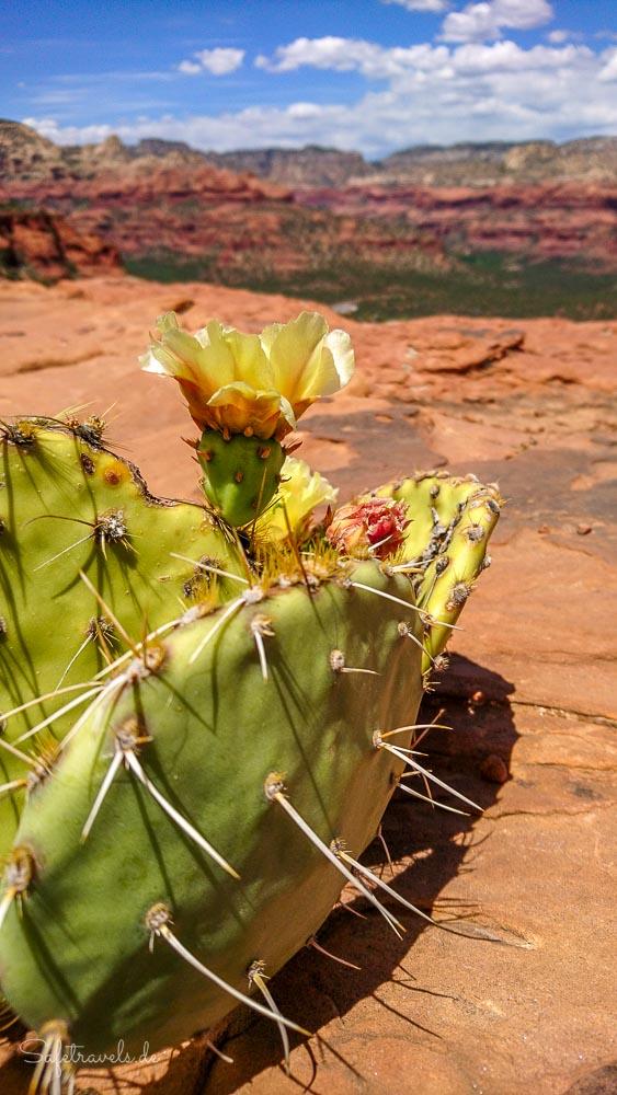Kaktusblüte auf der Mesa
