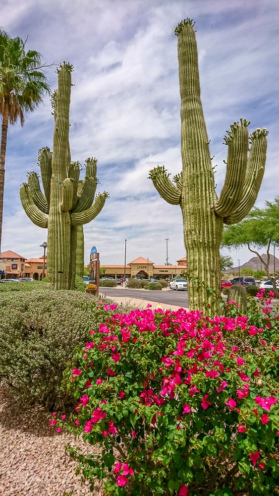 Saguaros in Anthem bei Phoenix