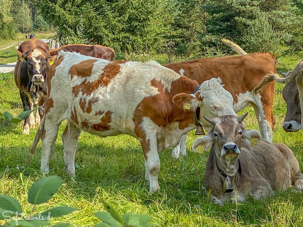 Glückliche Kühe am Parkplatz zu den Kuhfluchtwasserfällen